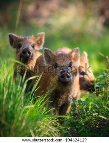 Wild Boar piglets - stock photo