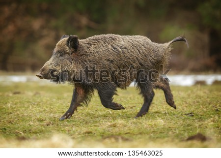 Wild boar running for cover in the forest through a winter meadow