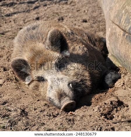 wild boar sleeps - stock photo
