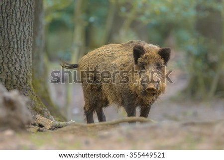 Wild Boar (Sus scrofa) looking in the camera from natural forest surroundings - stock photo