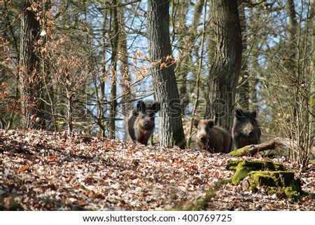 wild boars in a forest - stock photo