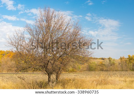 Wild branchy apple tree on the on the edge of agricultural field in Sumskaya oblast, Ukraine