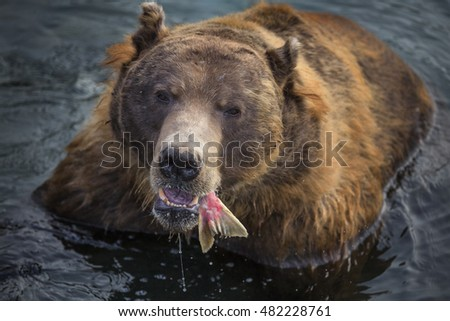 wild brown bear eats fish