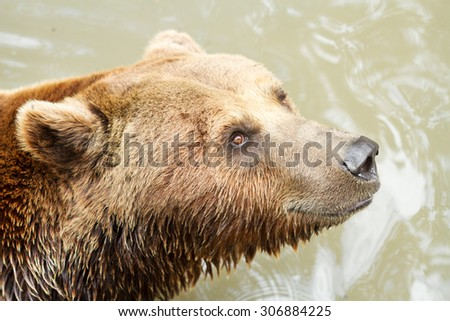 Wild brown bear portrait  - stock photo
