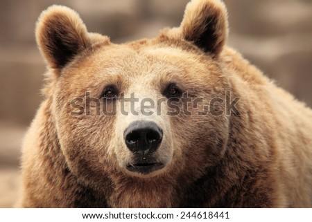 wild brown bear resting - stock photo