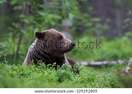 Wild Brown bear sitting in forest relaxing - stock photo