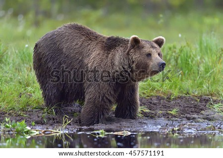 Wild Brown bear (ursus Arctos) in the summer forest