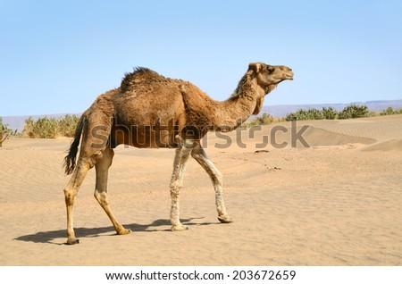 Wild brown dromedary camel in the sahara Desert in Morocco - stock photo