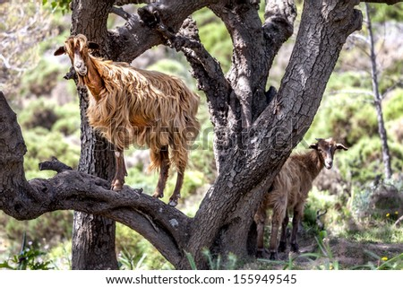 Wild brown goat in a tree on Crete in Greece - stock photo