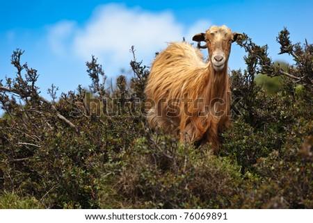 Wild brown goat on Crete in Greece - stock photo