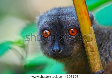 Wild brown lemur, Madagascar - stock photo