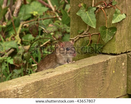Wild Brown Rat close up in the country - stock photo