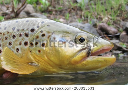 Wild brown trout - stock photo