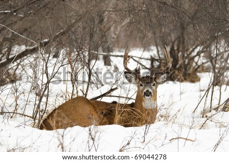 Wild buck deer in the snow