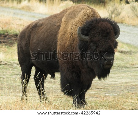 Wild Buffalo.  Image taken during a vacation trip to Wyoming. - stock photo
