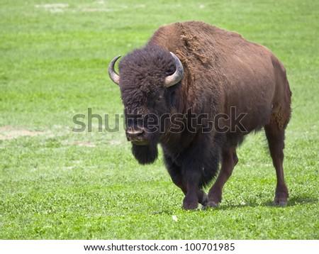 Wild buffalo in Badlands National Park, South Dakota - stock photo