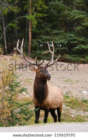 Wild Bull Elk, Banff National Park Alberta Canada - stock photo