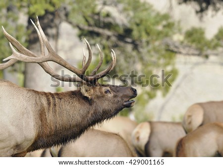 Wild Bull Elk in Leading it's Herd  - stock photo