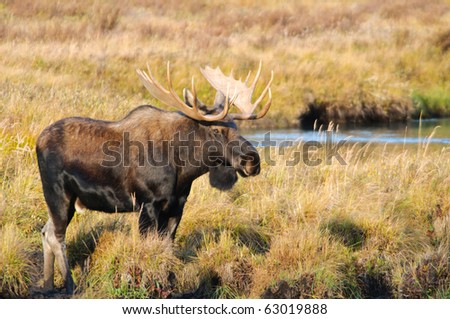 Wild Bull Moose in autumn, Spray Valley Provincial Park in Kananaskis Country Alberta Canada - stock photo