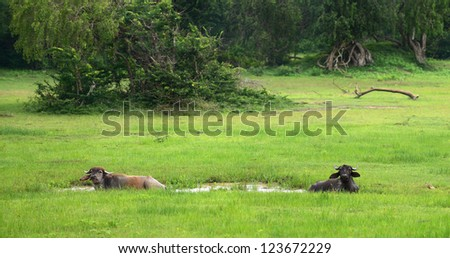 Wild bulls in the lake . The national Park of Sri Lanka - stock photo