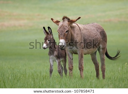 Wild Burros, mother and baby, in Custer State Park, horizontal - stock photo