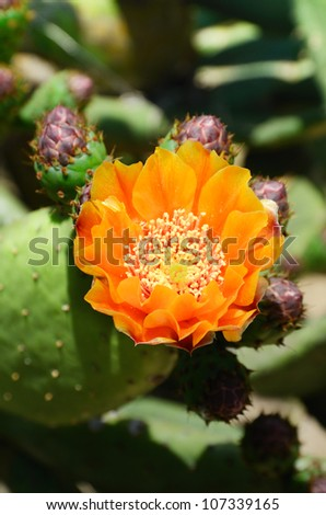 Wild cactus has yellow flower and severe buds. It is photographed close-up. - stock photo