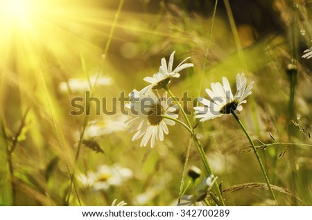 Wild camomile flowers growing on green meadow, macro image with sunlight - stock photo