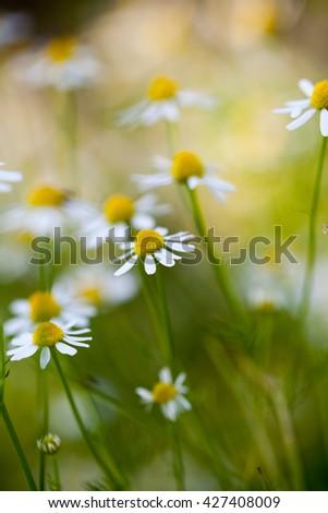 Wild camomile (Matricaria chamomilla) in the field with natural background - stock photo