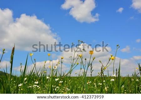 wild camomiles on blue sky background  - stock photo
