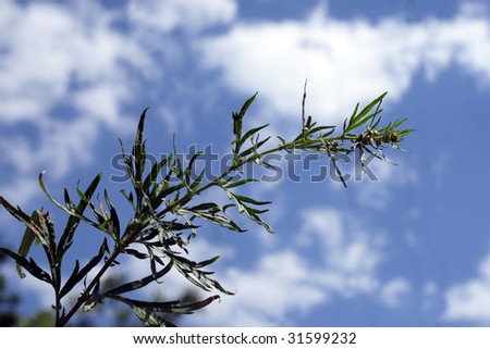 Wild canabis in nature aganst blue sky - stock photo