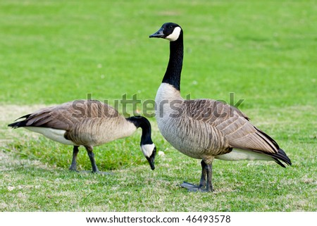 Wild canadian geese standing in the grass - stock photo