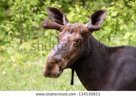 wild canadian moose - stock photo