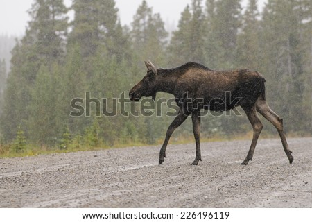 Wild Canadian Moose crossing the road in the Snow in Autumn. - stock photo