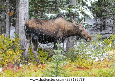 Wild Canadian Moose on a parkway roadside in the Snow in Autumn. - stock photo