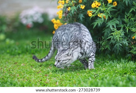 wild cat hunting on the garden - stock photo