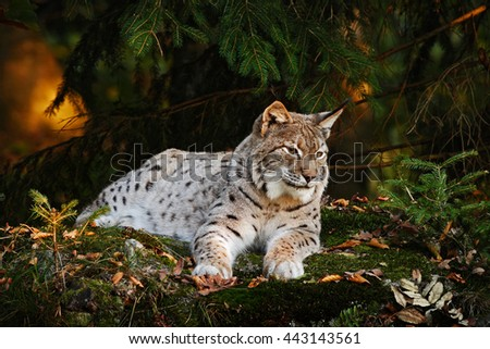 Wild cat in the forest. Lynx in the nature forest habitat.  Eurasian Lynx in the forest, birch and pine forest. Lynx lying on the green moss stone. Cute lynx, wildlife scene from nature. Slovakia - stock photo