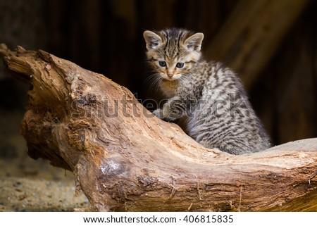 wild cat kitten - stock photo