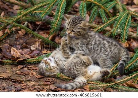 wild cat kittens fighting - stock photo