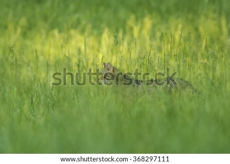 Wild cat on the meadow - stock photo