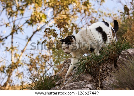 wild cat scaling mountain