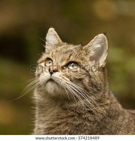 Wild cat watching the bird above in the deep forest. Wildlife photography