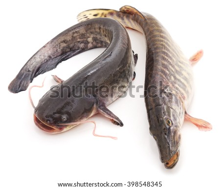 Wild catfish and pike isolated on a white background. - stock photo