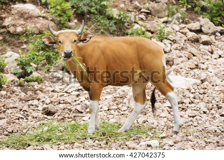 Wild Cattle eating the grass on the hill  - stock photo