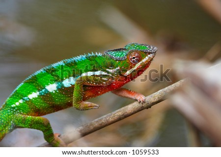 Wild chameleon walking, Madagascar - stock photo