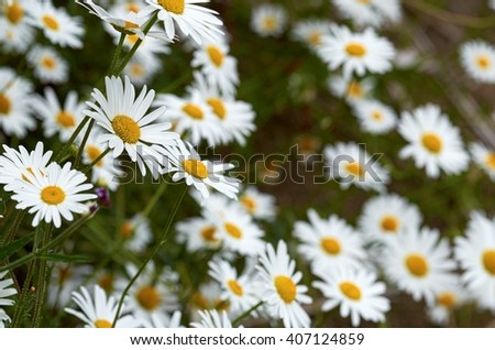 Wild chamomile flowers against a background of green