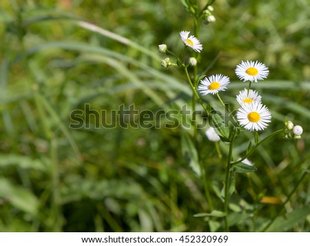 Wild chamomile flowers blooming on a green field among herbs on a sunny day - stock photo