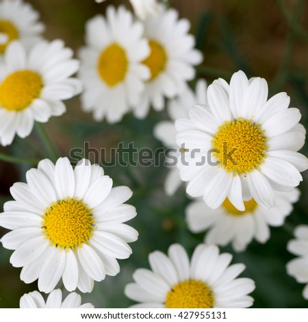 Wild chamomile flowers. Flowers background. Selective focus