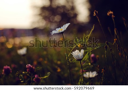Wild chamomile flowers. Shallow depth of field