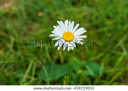 Wild chamomile on a meadow - stock photo