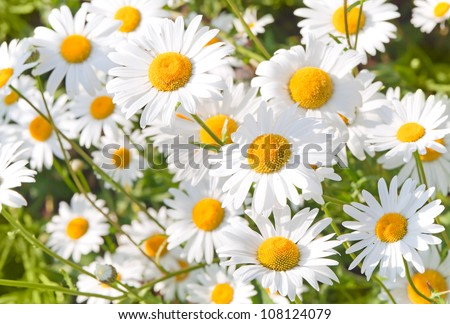 Wild chamomile on a meadow. Photo with shallow depth of field - stock photo